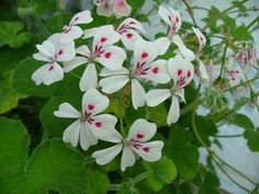 Pelargonium echinatum (Pelargonium echinatum)