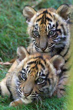 Teeny Tiny Tiger Totem - http://www.1pic4u.com/blog/2014/11/04/teeny-tiny-tiger-totem/