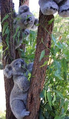 Koalas at play