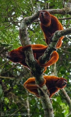 Howler Monkeys . may need a few of these to keep the possums away but then again...frypan to fire??