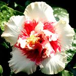 Exotic Hibiscus 'Princess Ka'iulani'