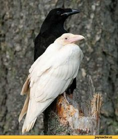 albino crow or raven - Bing Images The Crow, The Raven, Raven Art, Crow Or Raven, Beautiful Birds, Animals Beautiful, Gouts Et Couleurs, Animals And Pets, Cute Animals
