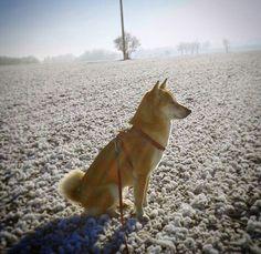 my photo, my dog, my love, shiba inu, sun, snow