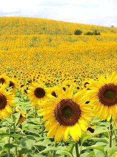 » Field Trip |Sunflo