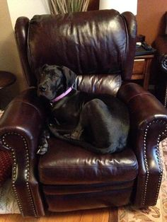 """See our internet site for additional details on """"great dane"""". It is an excellent place to get more information. Great Dane Facts, Great Dane Funny, Great Dane Dogs, Best Dogs, Cute Dogs, Black Great Dane Puppy, Black Great Danes, Harlequin Great Danes, Purebred Dogs"""