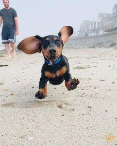Dachshund Tattoo, Dachshund Quotes, Dachshund Shirt, Funny Dachshund Pictures, Funny Pets, Dapple Dachshund Puppy, Dachshund Puppies For Sale, Dachshunds, Weenie Dogs