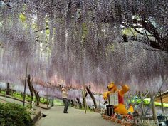 Wisteria flowers in Ashikaga, Japan. The largest Wisteria plant in Japan covers half an acre or almost 2000 square metres. Wisteria Tunnel, Wisteria Plant, Landscaping Retaining Walls, Backyard Landscaping, Backyard Plants, Landscaping Ideas, Fuji, Wisteria Sinensis, Beautiful Gardens
