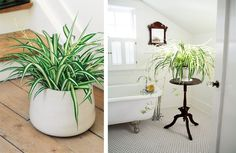 Plante d'intérieur : les bienfaits du Chlorophytum  #chlorophytum #planteverte #decoration #plantedepolluante #ninavegetal