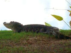Gator in the rough at Lexington Golf Club - Fort Myers, Florida