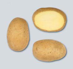 Αρχείο:Ποικιλία πατάτας Artemis.jpeg