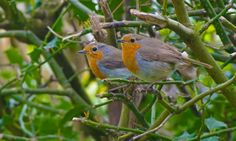 Robin wins vote for UK's national bird | Environment | The Guardian