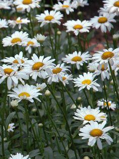 Chrysanthemum superbum Becky Shasta Daisy, Leucanthemum superbum