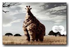 fun giraffe eating