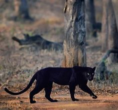 A Black Jaguar out for a walk. Jaguar Panther, Panther Leopard, Panther Cat, Gatos Serval, Serval Cats, Cute Baby Animals, Animals And Pets, Funny Animals, Wild Animals