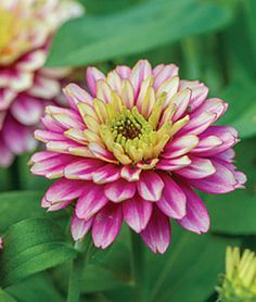 Zinnia 'Dancing Girls' My father loved his Zinnias..I miss you Dad.