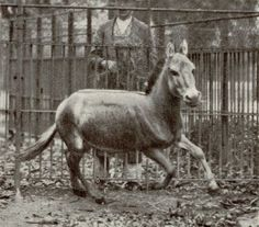 The last known wild specimen of the Syrian Ass was fatally shot in 1927 at Al Ghams near the Azraq oasis in Jordan, and the last captive specimen died the same year at the Vienna Zoo.