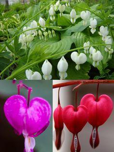 Bleeding heart flower- The valentine flower