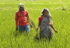 Tribal villager, Kowasalya Thati (R), 35, tends to her rice paddy crop with her husband in Khammam district, Andhra Pradesh March 20, 2012. REUTERS-AlertNet-Nita Bhalla-Files