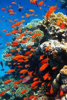 Red sea #anthias