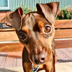 Duke, an adorable Min Pin 12/18/13