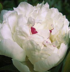 ":: peony ""duchesse de nemours"" : beautiful fragrance from this heirloom"