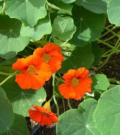 Nasturtiums are great companion plants because bugs hate their peppery scent. They not only repel bad bugs, they also attract pollinators. But there are other benefits of adding nasturtiums to your vegetable garden:• Every part of nasturtiums is edible, and they add a delicious, peppery taste to salads.• They are easy to grow from seed.• The flowers add beauty to any vegetable garden.