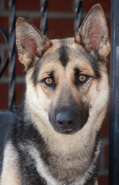 Check out Melrose Von Melpers' profile on AllPaws.com and help her get adopted! Melrose Von Melpers is an adorable Dog that needs a new home. https://www.allpaws.com/adopt-a-dog/german-shepherd-dog/7493014?social_ref=pinterest