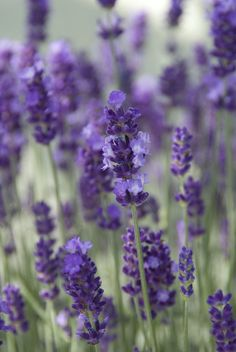 Lavender acts like a magnet to attract honeybees, bumblebees and butterflies. It makes your garden a feast for the eyes! This perennial also has a delightful, calming fragrance. Enough reasons to give this popular plant a spot in your garden. Lavender Drink, Purple Garden, Lavandula Angustifolia, Perennials, Flora, Fragrance, Herbs, Make It Yourself, Plants