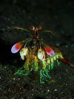 Mantis shrimp or stomatopods are marine crustaceans, the members of the order Stomatopoda.