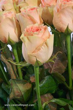 Rosa Esperance (rose) www.colorsofimport.com