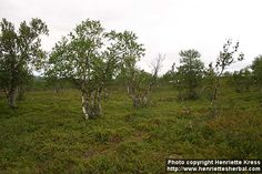 File Image, Photo B, Pine Forest, Google Images, Country Roads, Fantasy, Plants, Fantasy Books, Plant