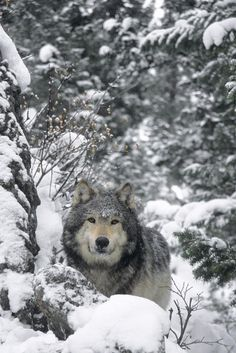 Wolf In Snowy Forest by Rebecca Grambo