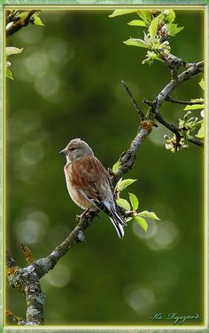 https://youtu.be/P341HxriXZc - Płonka – Przyroda – Ptaki – Czeczotka – 4k.