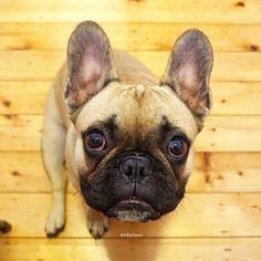 Toby the French Bulldog, @tobychews on instagram