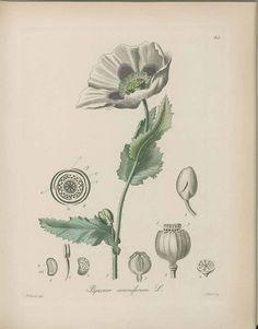 Papaver somniferum L. / Kohl, F. Nature Illustrations, Poppy, Dream Catcher, Printable, Graphics, Tattoos, Flowers, Art, Vegan