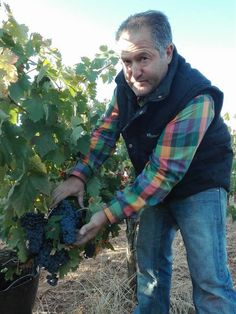 Artisan viticulturist-winemaker-owner Eugenio Merino with his Tinto Fino/Tempranillo grapes during the harvest at Hermanos Merino Viña Catajarros, producers of one of Spain's greatest rosados, Corcos del Valle (Valladolid), D. O. Cigales. Photo courtesy of Eugenio Merino, Viña Catajarros. — with Viña Catajarros and Eugenio Manuel Merino at Corcos del Valle.