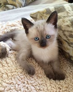 Siamese Kittens, Kittens Cutest, Cats And Kittens, Cute Little Animals, Cute Funny Animals, Cute Cats, Fluffy Cat Breeds, Cute Cat Breeds, Cat Age Chart