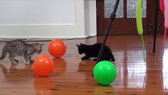 Funny Baby Kittens Playing with Ballons http://ift.tt/1SKFeR8