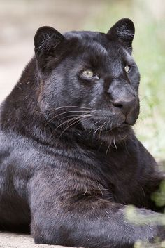 Khan (by patrick-walker) Small Wild Cats, Big Cats, Cool Cats, Black Panthers, Black Animals, Cute Animals, Wild Animals, Beautiful Cats, Animals Beautiful