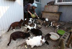 田代島名物!畠山和子さんの特製卵ご飯。猫たちは待ちきれないといった表情。「ニャーニャー!」と大合唱だ=15日、宮城県石巻市田代島(尾崎修二撮影)