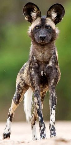 Lycaon pictus is a canid found only in Africa, especially in savannahs African Hunting Dog, African Wild Dog, Animals And Pets, Cute Animals, Wolf Hybrid, Zee Dog, Magnificent Beasts, Wild Creatures, Mundo Animal