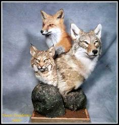 Cool Coyote Mounts | ... one mount one time...nice little mounts to sit on a coffee table ect