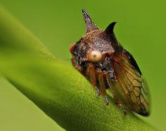 Treehopper   Flickr - Photo Sharing!