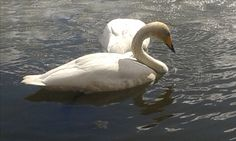 Tampere beautiful swan in the summer of 2016
