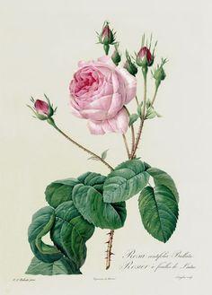 """""""Rosa Centifolia Bullata"""" Bild von Pierre Joseph Redoute jetzt als Poster, Kunstdruck oder Grußkarte kaufen.."""