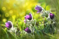 Весенние цветы \ фотограф Rebekka D.. Обсуждение на LiveInternet - Российский Сервис Онлайн-Дневников