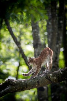 """""""For most of their lives lynxes are solitary and elusive and, apart from chance encounters, their presence is often only betrayed by the tracks and signs they leave."""" C&E European Wildlife; www.bradtguides.com"""