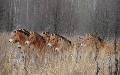 Rebanhos do cavalo-de-Przewalski também prosperam em Chernobyl.