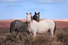 "Best Friends by Ken Lee. ""A pair of wild mustang mares are virtually inseparable on the high plains of Wyoming's Red Desert region."""