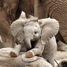 Cute elephant baby Pics with other cute animals Un bambino elefante molto carino + 9 foto con altri simpatici animali Cute Baby Elephant, Cute Baby Animals, Animals And Pets, Funny Animals, Baby Elephants, Elephants Playing, Funny Elephant, Happy Animals, Elephant Trunk
